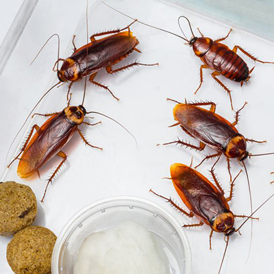 pest control roaches roach bug elite pest and termite services exterminator fort smith arkansas