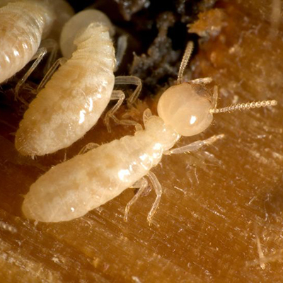 termites termite treatment pest control bugs elite pest and termite services exterminator fort smith arkansas