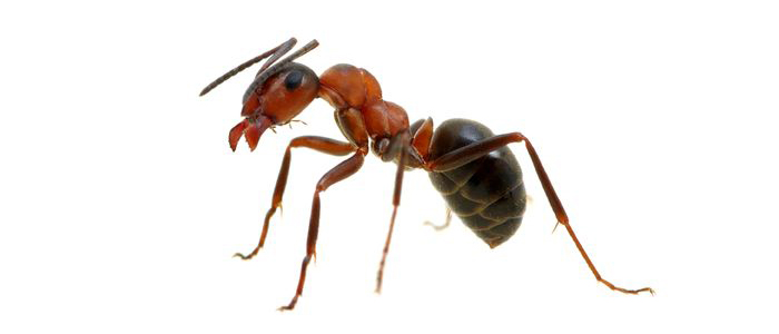 ant bug pest control kill ants exterminator elite pest and termite fort smith arkansas van buren arkansas