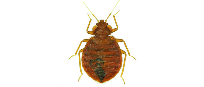 bed bugs bed bug treatment exterminator elite pest and termite fort smith arkansas van buren arkansas