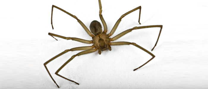 spiders brown recluse spider bug pest control kill spiders exterminator elite pest and termite fort smith arkansas van buren arkansas