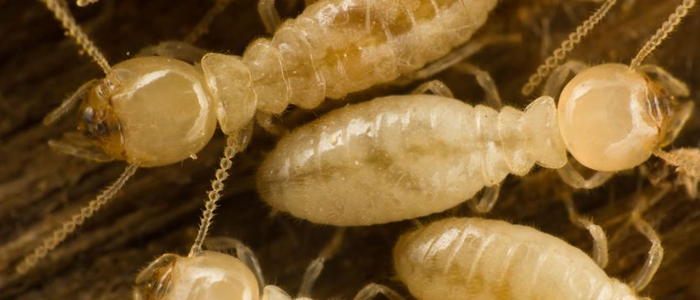 termites termite services bug exterminator elite pest and termite fort smith arkansas van buren arkansas