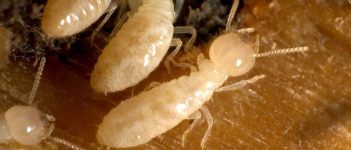 termites termite damage bug exterminator elite pest and termite fort smith arkansas van buren arkansas