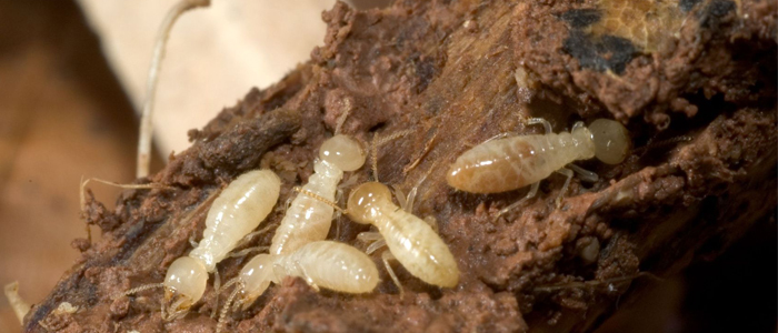termites termite infestation bug exterminator elite pest and termite fort smith arkansas van buren arkansas